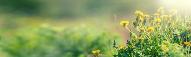 Gelber frühlingslöwenzahn auf der wiese. löwenzahn auf der rechten seite des panoramabanners platziert.