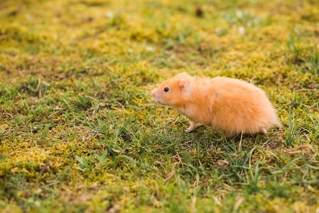 Gelber hamster, der in das gras geht