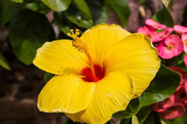 Gelber hibiscus blüht auf grünem hintergrund