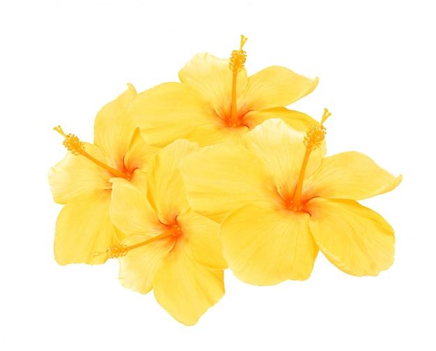 Gelber hibiskus isoliert