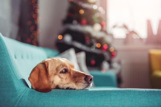 Gelber hund, der auf ein blaues sofa legt
