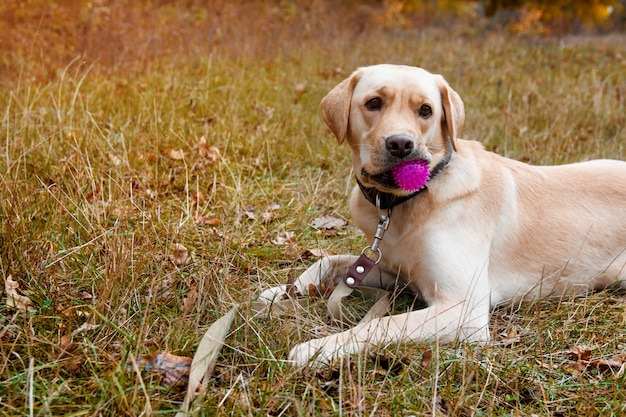 Gelber hund labrador-apportierhunds mit ball liegt im herbstwald. walk dog konzept