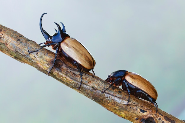 Gelber käfer (eupatorus gracilicornis), käfer in der natur