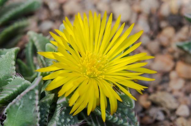Gelber kaktus blüht makro