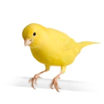 Gelber kanarienvogel - serinus canaria auf seinem barsch isoliert