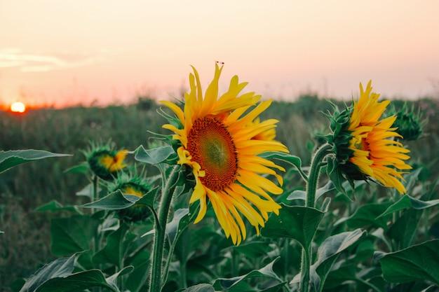 Gelber knospenabschluß des sonnenblumenfeldes herauf natürlichen hintergrund
