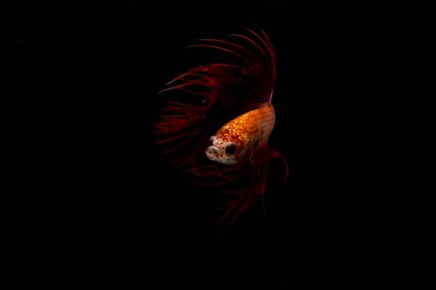 Gelber kopf und roter körper von siamesischem betta-fisch oder crowntail-fisch schwimmt