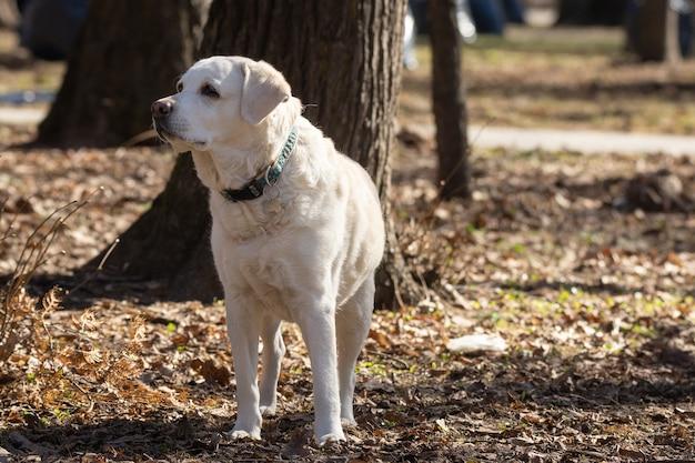 Gelber labrador-apportierhund