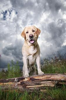 Gelber labrador retriever auf grüner waldwiese