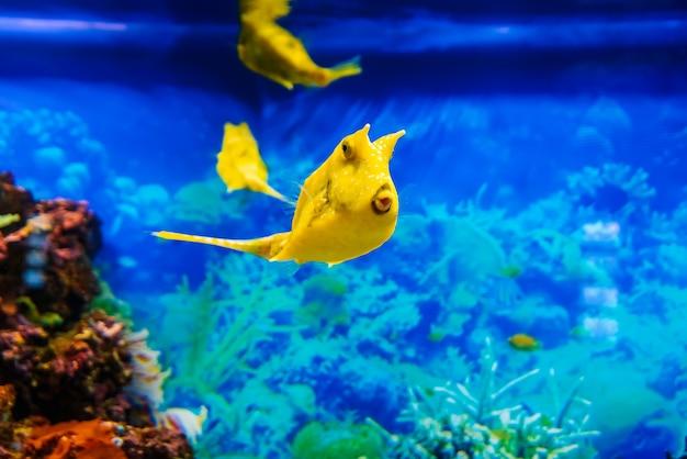Gelber langhorn-kuhfisch schwimmt im blauen wasser in einem aquarium