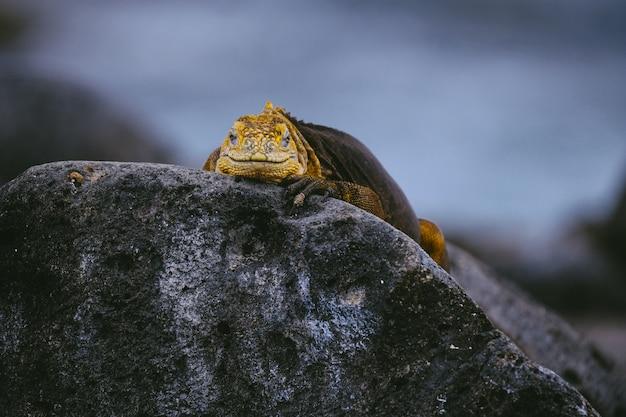 Gelber leguan auf einem felsen, der in richtung der kamera mit unscharfem hintergrund schaut