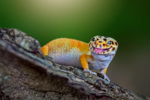 Gelber leopardgecko auf einem ast im tropischen wald mit seiner zunge heraus