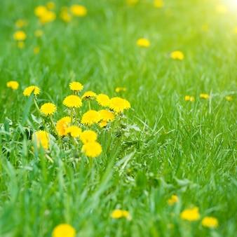 Gelber löwenzahn auf der grünen wiese im sommer