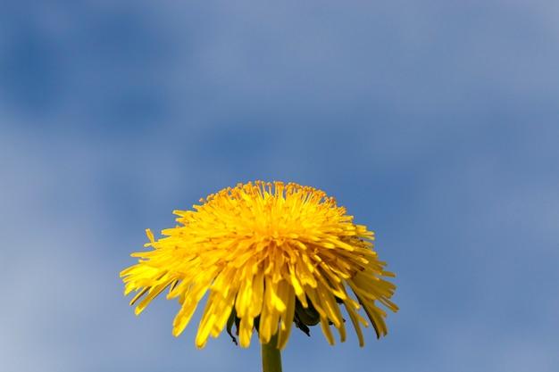 Gelber löwenzahn auf einem hintergrund des blauen himmels, frühlingsblumen