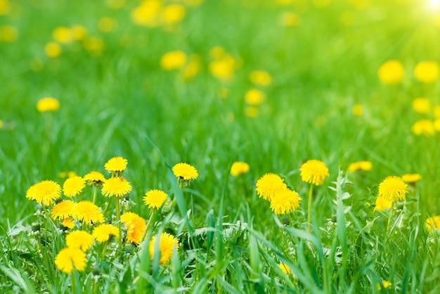 Gelber löwenzahn auf grünem feld mit strahlender sonne Premium Fotos
