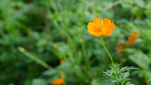 Gelber löwenzahn blüht im gras, frühlingswindnahaufnahmemakro mit weichzeichnung auf einer wiese