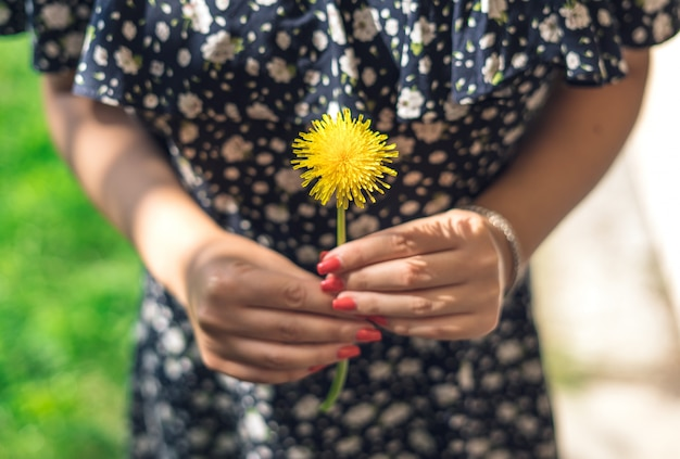 Gelber löwenzahn. weibliche hände, die gelbe blume halten.