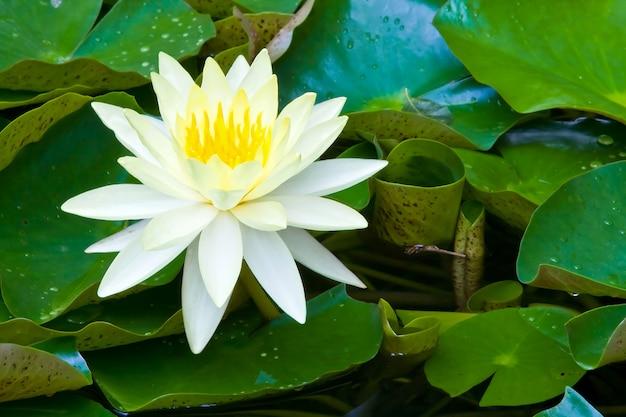 Gelber lotus, saint luis gold.