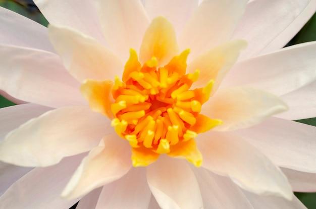 Gelber lotus verschwommen