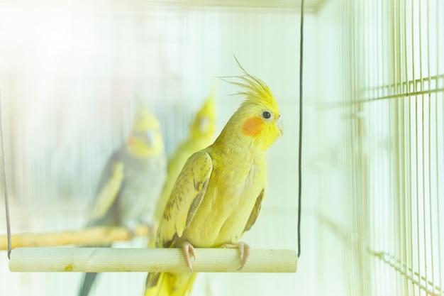 Gelber papagei corella