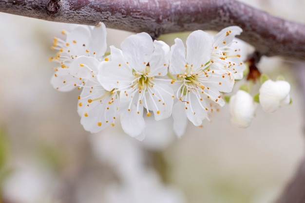 Gelber pflaumenbaum in voller blüte