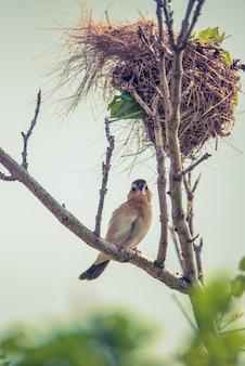 Gelber pirol vogel mit nest auf dem ast des baumes.