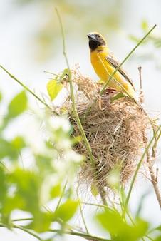 Gelber pirolvogel mit nest auf der niederlassung des baums.