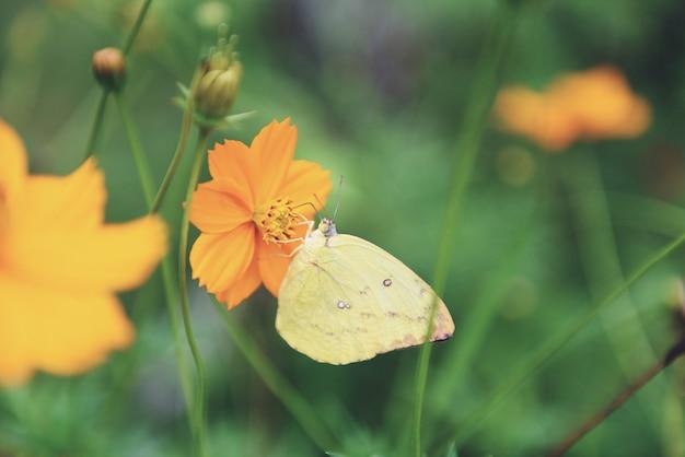 Gelber schmetterling auf gelber blume