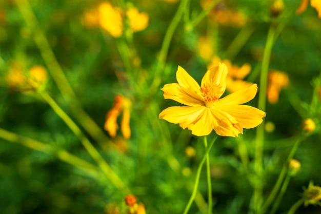 Gelber schwefel kosmos blüht im garten der natur.