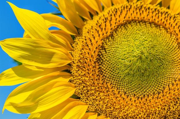 Gelber sonnenblumenhintergrund