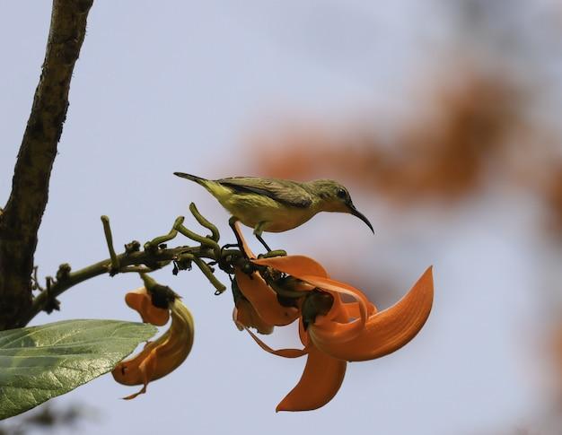 Gelber sonnenvogel, der auf einer roten blume steht