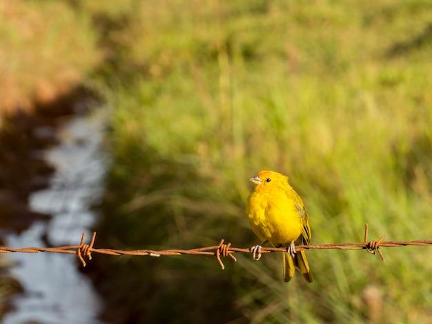 Gelber vogel auf stacheldraht
