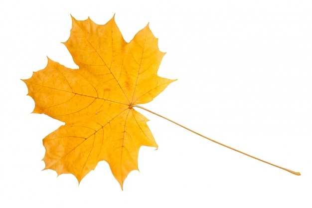 Gelbes ahornblatt als herbstsymbol.