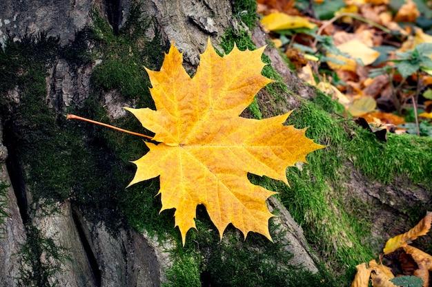 Gelbes ahornblatt am stamm eines alten baumes im wald, gefallene herbstblätter