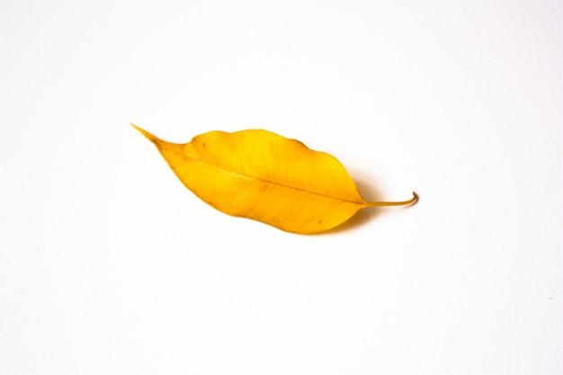 Gelbes blatt des ficus benjamina lokalisiert auf weißer wand