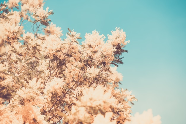 Gelbes blühen des mimosenbaums im frühjahr