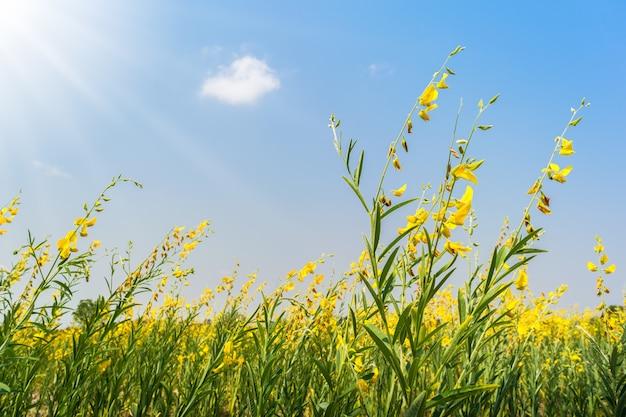 Gelbes blumenfeld auf schönem blauem himmel