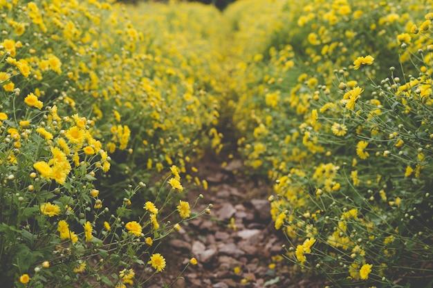 Gelbes chrysanthemenblumenfeld