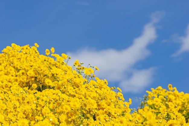 Gelbes chrysanthemenfeld in den weißen wolken und im hintergrund des blauen himmels.