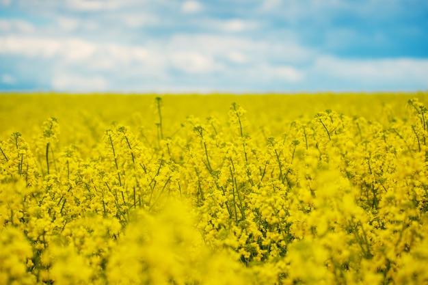 Gelbes feld des frühlinges rapssamen in der blüte und im schönen blauen himmel.