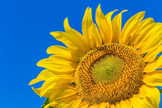 Gelbes feld von sonnenblumen