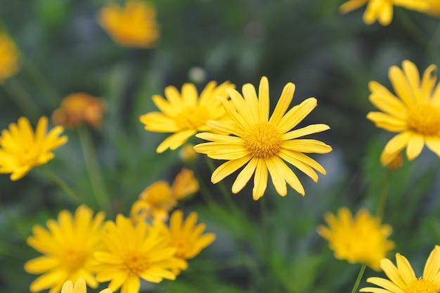 Gelbes gänseblümchen-blumenfeld des selektiven fokus mit grünem hintergrund