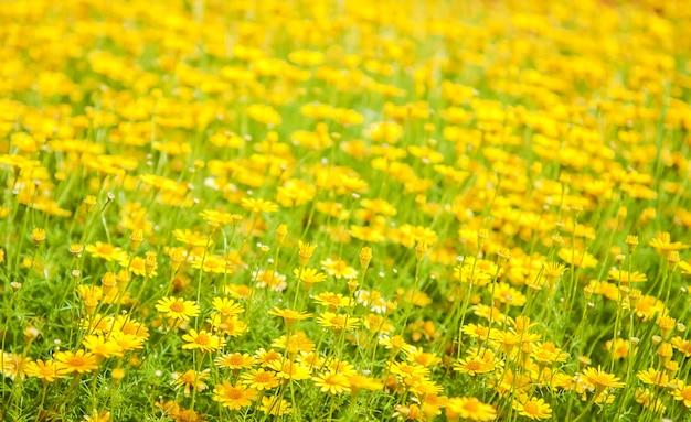 Gelbes gänseblümchenblumenfeld in der natur für naturhintergrund