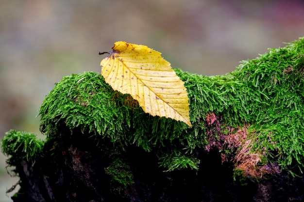 Gelbes gefallenes blatt auf einem alten moosigen stumpf im alten wald