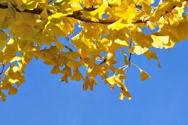 Gelbes ginkgo-laub