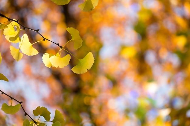 Gelbes ginkgobaumblatt in der herbstfalljahreszeit