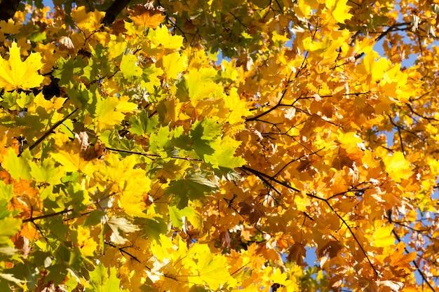 Gelbes, grünes und gelbes ahornlaub auf den zweigen eines baumes in der herbstsaison, details von pflanzen und bäumen