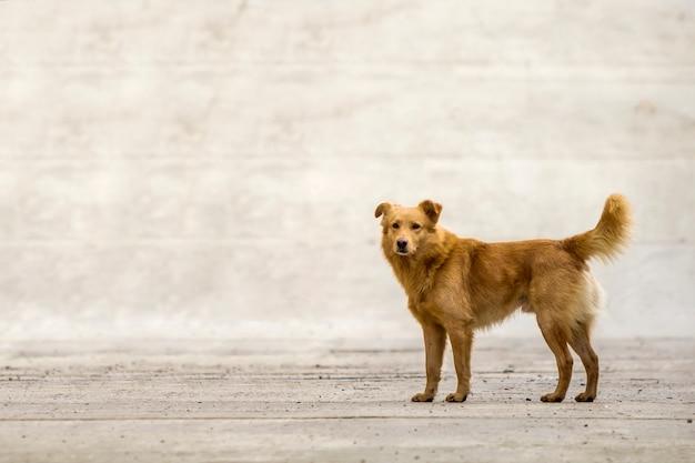Gelbes hundehaustier mit dem geschwollenen schwanz draußen