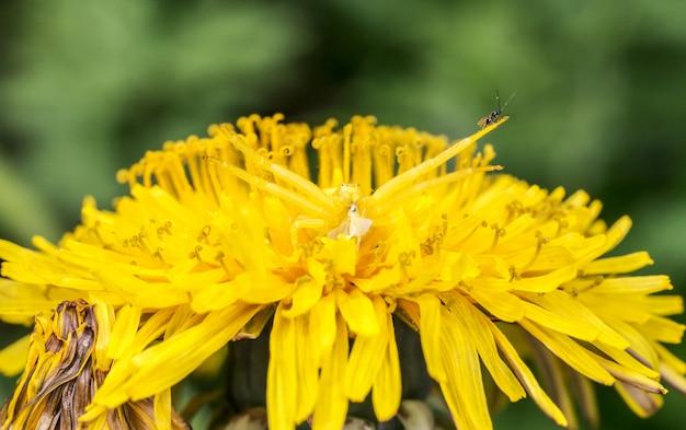 Gelbes insekt auf gelber blume schließen oben