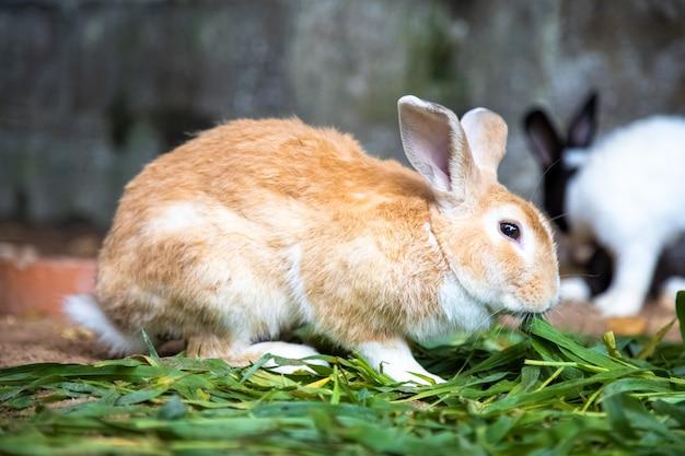 Gelbes kaninchen auf dem gras vor dem hintergrund anderer kaninchen